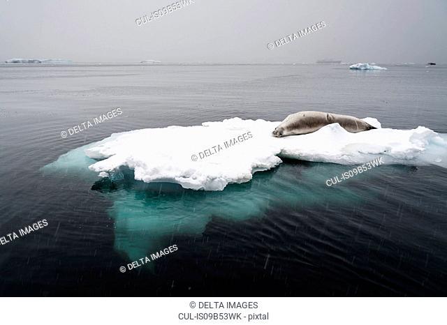 Crabeater seal (Lobodon carcinophaga) on the ice, Wilhelmina Bay, Antarctica