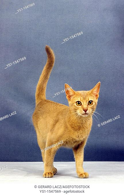 Red Abyssinian Domestic Cat, Adult against Blue Background