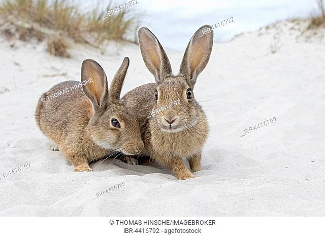 Wild rabbits (Oryctolagus cuniculus), beach dunes, Mecklenburg-Vorpommern, Germany