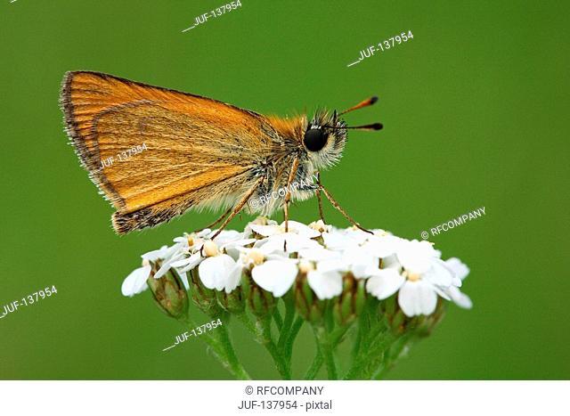 Small skipper on white blossom / Thymelicus sylvestris