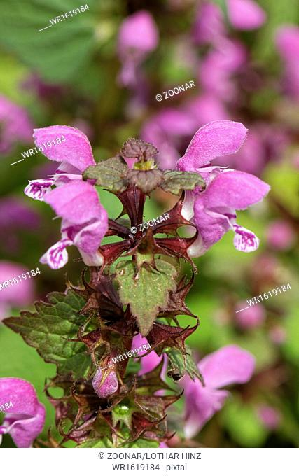Lamium maculatum, Spotted Deadnettle,Purple Dragon