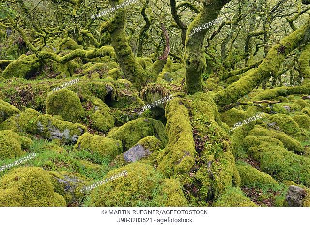 The mysterious Wistmans Wood, an ancient stunted pedunculate oak woodland high on the Dartmoor moorland. Trees and granite boulders are overgrown with moss &...