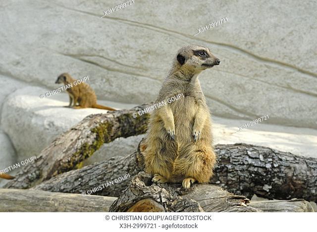meerkat or suricate (Suricata suricatta), ZooParc de Beauval, Loir-et-Cher department, Centre-Val de Loire region, France, Europe