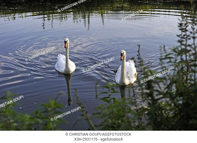 swans on Eure River, Eure-et-Loir department, Centre-Val de Loire region, France, Europe
