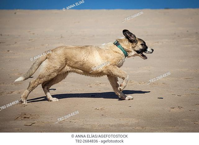 Spanish mastiff dog shepherd boy playing on the beach, Andalucia, Spain, Europe