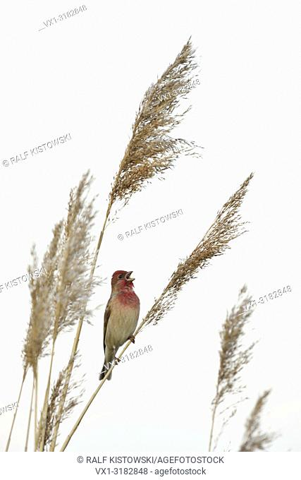 Common Rosefinch ( Carpodacus erythrinus ) adult male in clourful breeding dress perched on reed stem, singing its song, wildlife, Europe