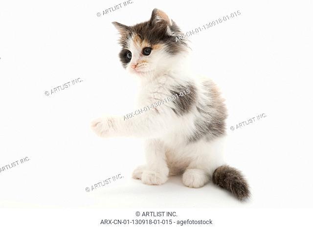 A sitting kitten raising its fore leg