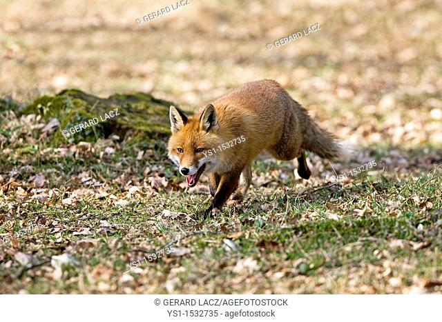 Red Fox, vulpes vulpes, Male walking on Fallen Leaves, Normandy