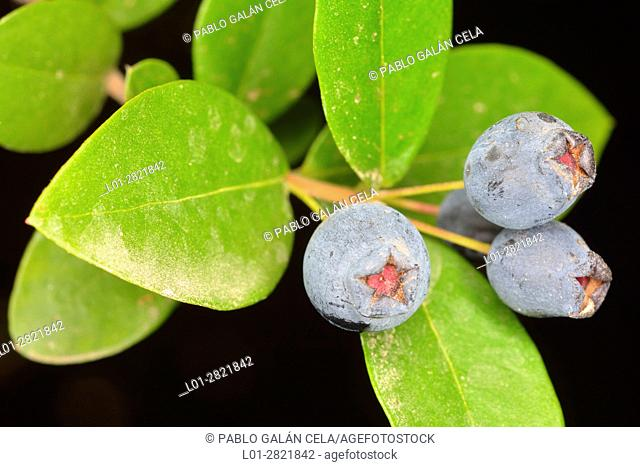 Myrtle, Myrtus communi, with fruits