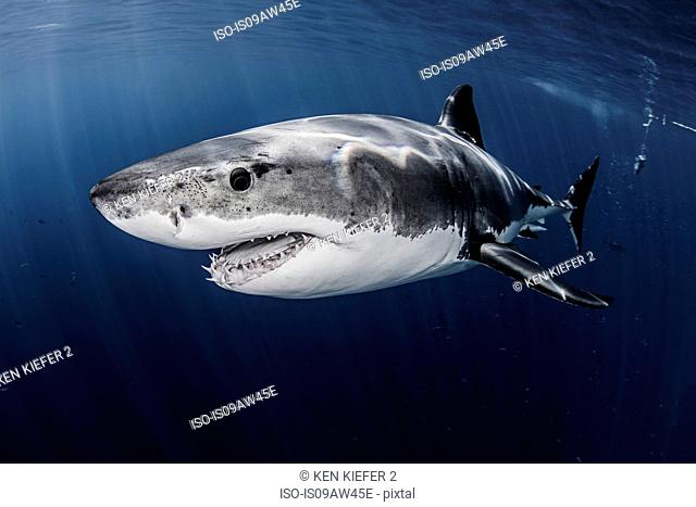 Close up underwater side view of male great white shark