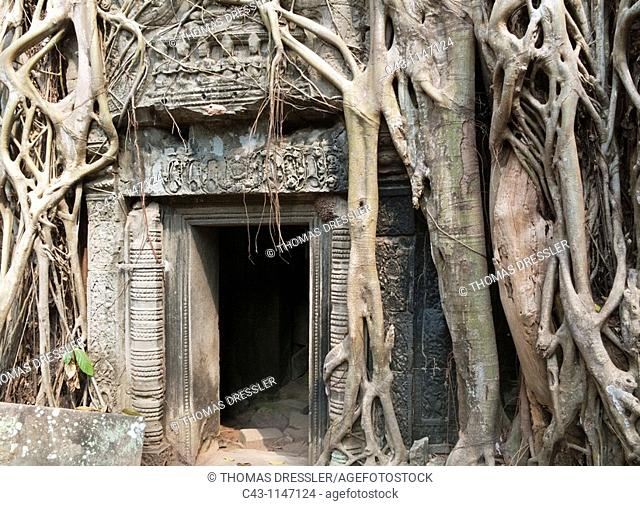Cambodia - The roots of a fig tree invade a gallery at the Ta Prohm temple in Angkor, supporting the monument and destroying it at the same time  The temple...