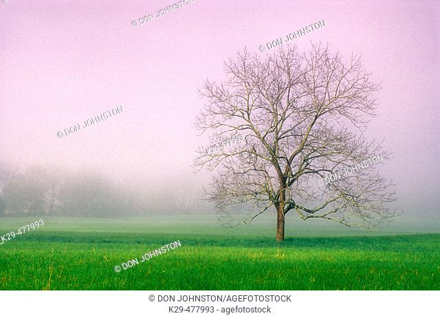 Solitary maple and fog in pasture at Cades Cove. Great Smoky Mountains NP. Tennessee. USA