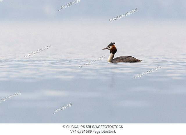 Iseo Lake, Lombardy, Italy. Great crested grebe
