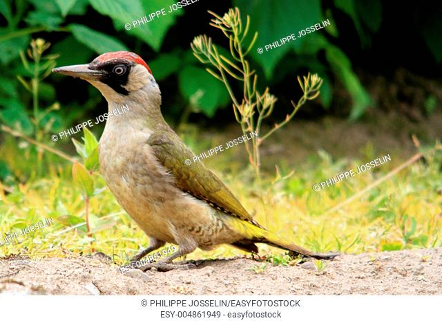 Brittany, Pleudihen sur Rance, green woodpecker in a garden