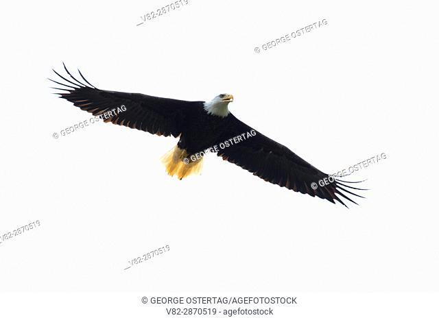 Bald eagle (Haliaeetus leucocephalus), Nehalem Fish Hatchery, Oregon