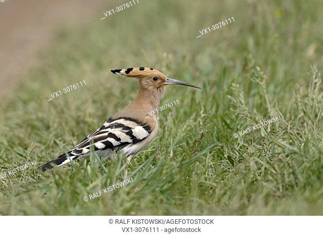 Eurasian Hoopoe ( Upupa epops ) sitting on the ground in grass, typical view, wildlife, Europe
