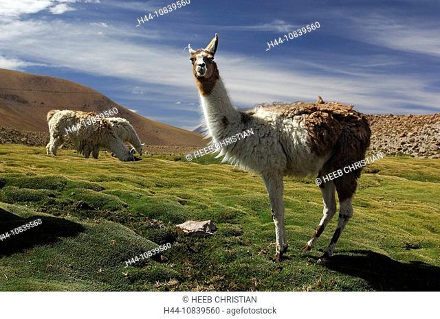 Chile, South America, Llamas, Lama glama, Machuca near San Pedro de Atacama, Altiplano, Antofagasta, landscape, South