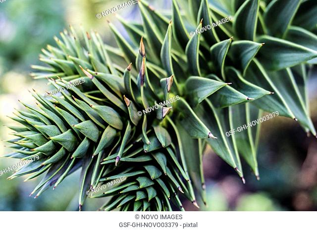 Echeveria Succulent Plant 3