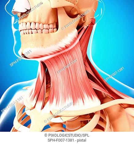 Human neck musculature, computer artwork