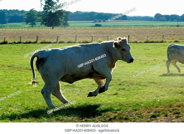 France, Charolais, Bos taurus, Bull, cow, cattle