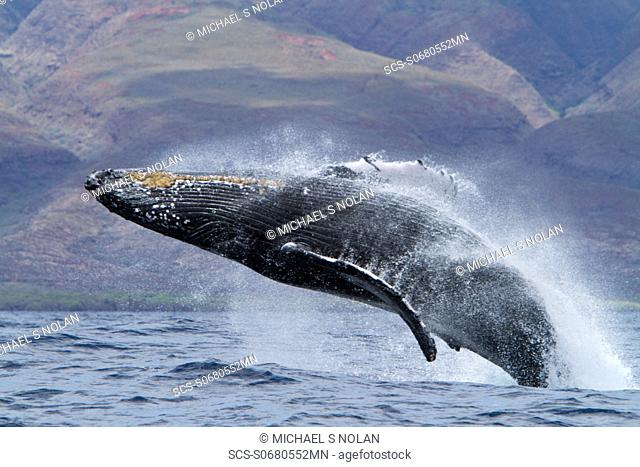 Adult humpback whale Megaptera novaeangliae breaching in the AuAu Channel between the islands of Maui and Lanai, Hawaii, USA