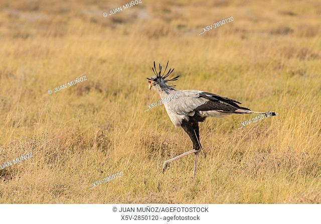 Serpentarium (Sagittarius serpentarius). Etosha National Park. Namibia.Africa