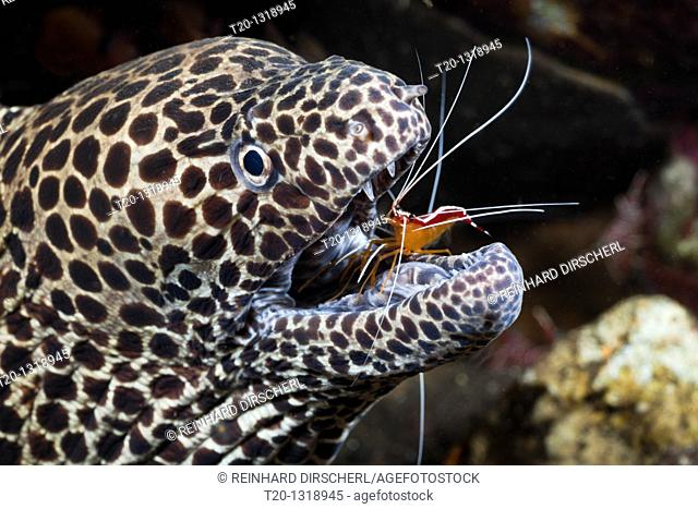 Honeycomb Moray cleaned by white-banded Cleaner Shrimp, Lysmata amboinensis, Gymnothorax favagineus, Alam Batu, Bali, Indonesia