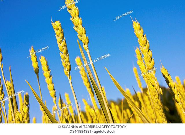 Detail of wheat ear in spring time, Wheat, Triticum spp is a cereal grain cultivated worldwide  Is the leading source of vegetable protein in human food