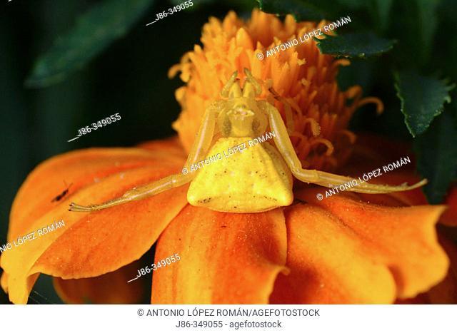 Camouflaged Crab Spider (Thomisus onustus) stalking on French Marigold (Tagetes patula) flower