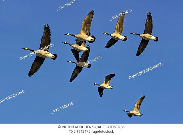 Flock of Canada Geese Flying in V Formation