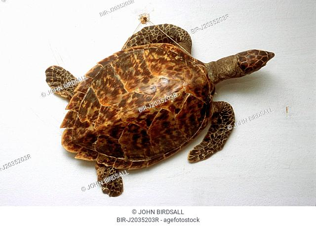 Shell of a turtle mounted on a wall as a decoration in a Cuban house