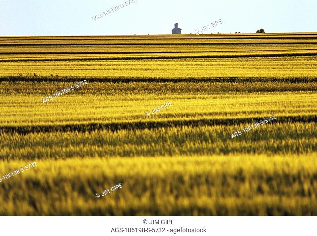 Agriculture - Green spring wheat field with grain elevator in background / Central Montana, USA