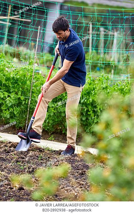 Farmer farming the land, Shovel, Urban vegetable garden, Urban orchards, Ekogunea, Donostia, San Sebastian, Gipuzkoa, Basque Country, Spain, Europe