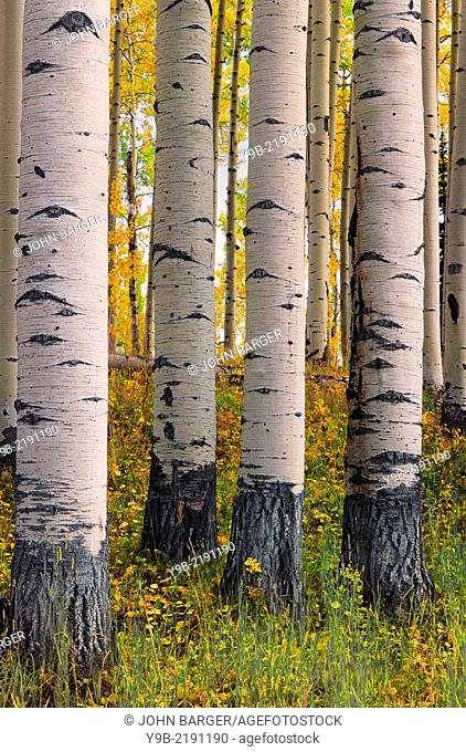 Patterned trunks of quaking aspen (Populus tremuloides) with autumn leaves, Uncompahgre National Forest, Colorado, USA