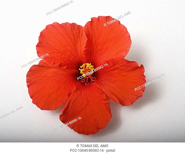 Studio shot of red hibiscus on white background