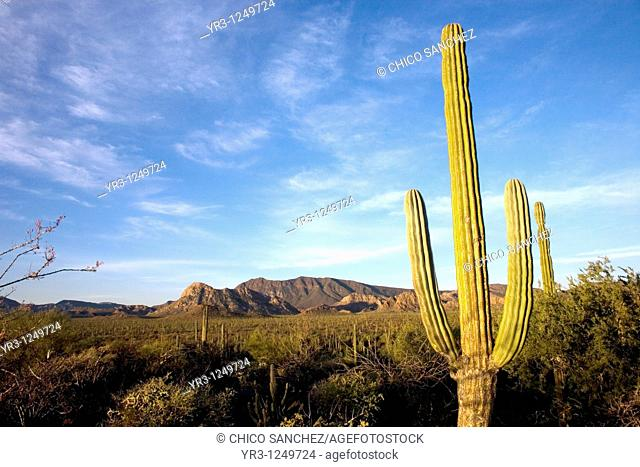 Cactus fill the desert between the towns of Loreto and Mulege in Mexico's southern Baja California state