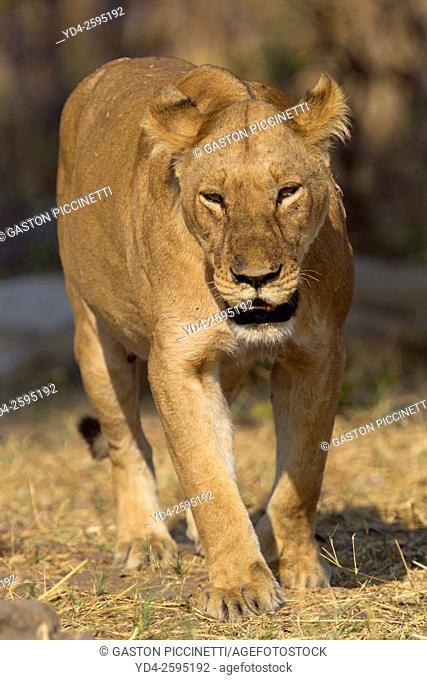 African lion (Panthera leo) -Female, Savuti, Chobe National Park, Botswana