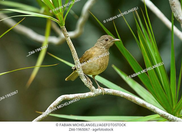 Pale-breasted thrush (Turdus leucomelas) perched in the rain forest of northern Venezuela