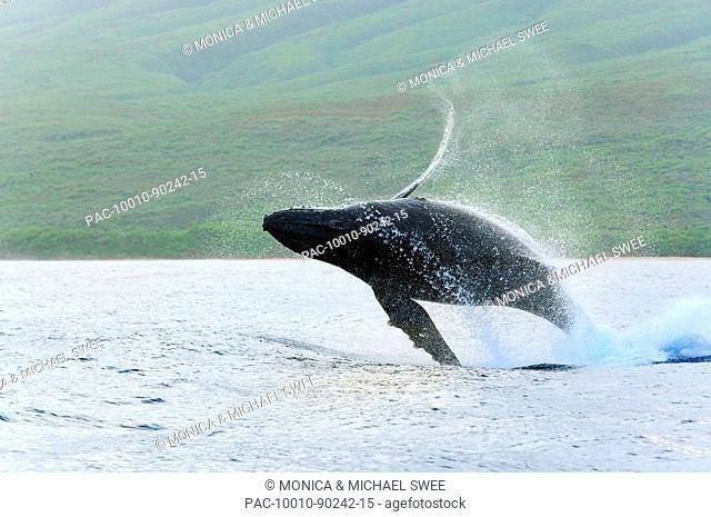 Hawaii, Maui, Humpback Whale Megaptera novaeangliae breaching off coastline