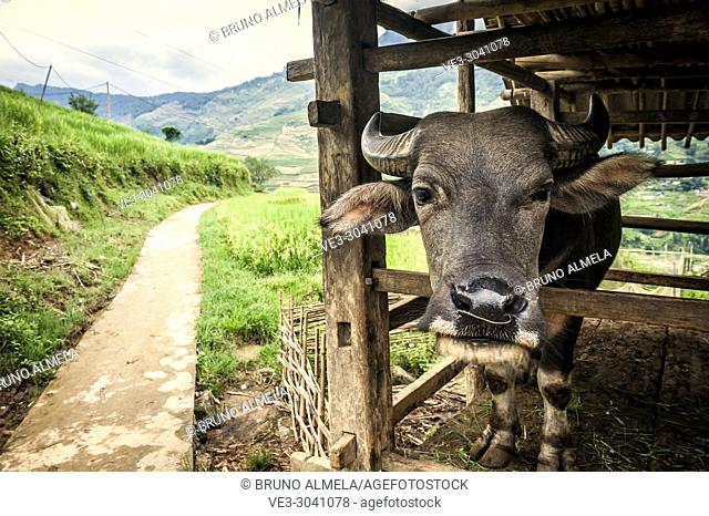 Asian water buffalo in Ta Van village, Muong Hoa Valley, Sa Pa (Lao Cai province,Vietnam)