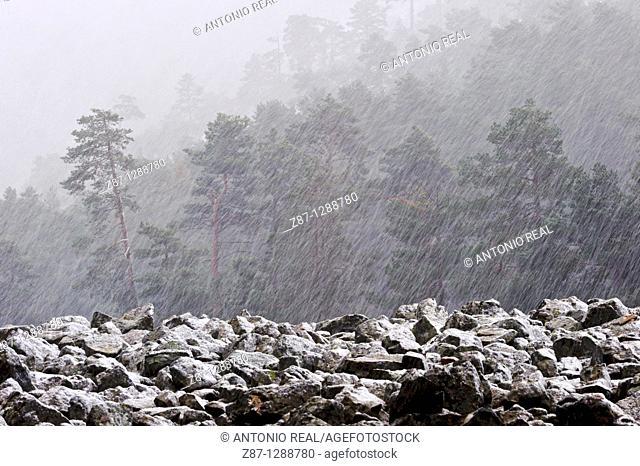 Snowstorm, Orea Forest, Parque Natural del Alto Tajo, Guadalajara province, Spain
