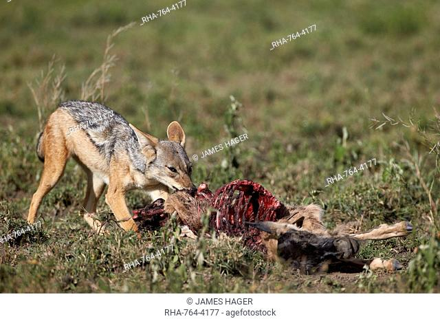 Black-backed jackal (silver-backed jackal) (Canis mesomelas) at a blue wildebeest calf kill, Serengeti National Park, Tanzania, East Africa, Africa