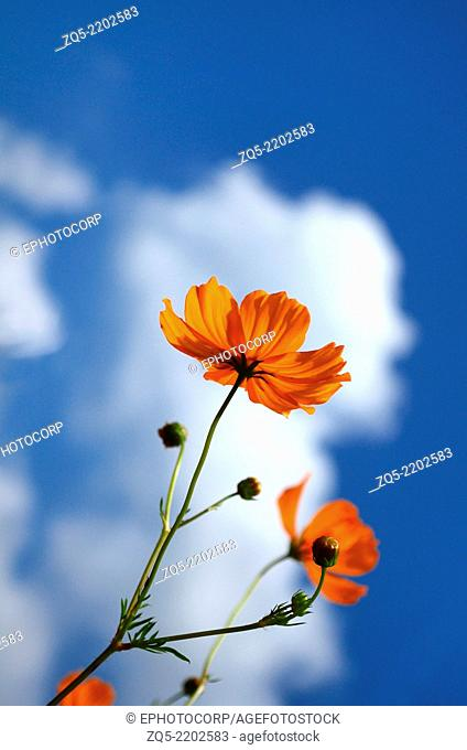 Cosmos orange, (Cosmos sulphureus) flower on sky background, Pune, Maharashtra, India