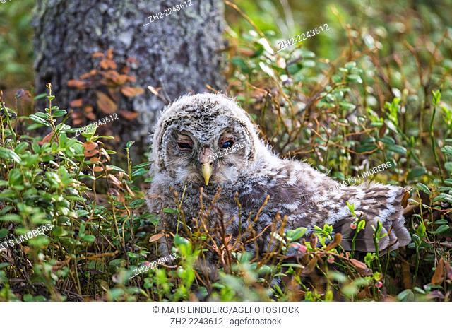 Juvenile Ural owl, Strix uralensis, sitting on the ground