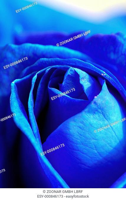 close-up of blue rose, macro