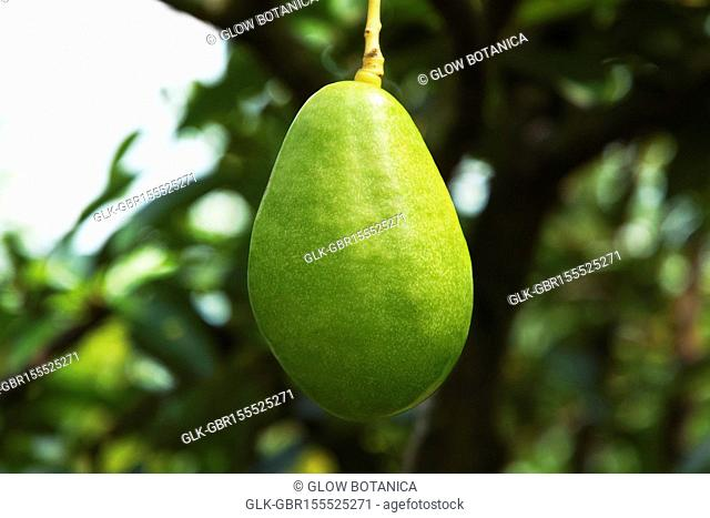 Avocado on a tree, Valle del Cauca, Colombia