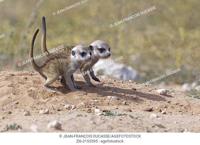 Meerkats (Suricata suricatta), two young males at burrow observing the surroundings, tails in the air, Kgalagadi Transfrontier Park, Northern Cape, South Africa