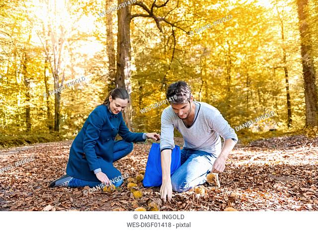 Couple collecting sweet chestnuts in the autumnal forest