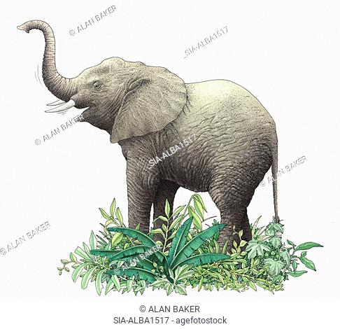 Elephant with raised trunk