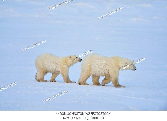 Polar bear (Ursus maritimus) Mother and yearling cub, Wapusk NP, Cape Churchill, Manitoba, Canada